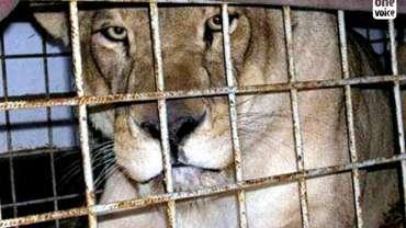 Libération de Maousi, la lionne