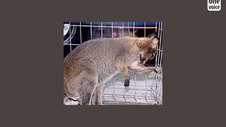 Kangourou fugueur