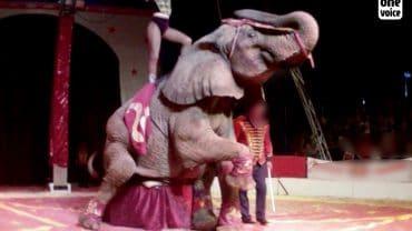 Samba l'éléphante battue