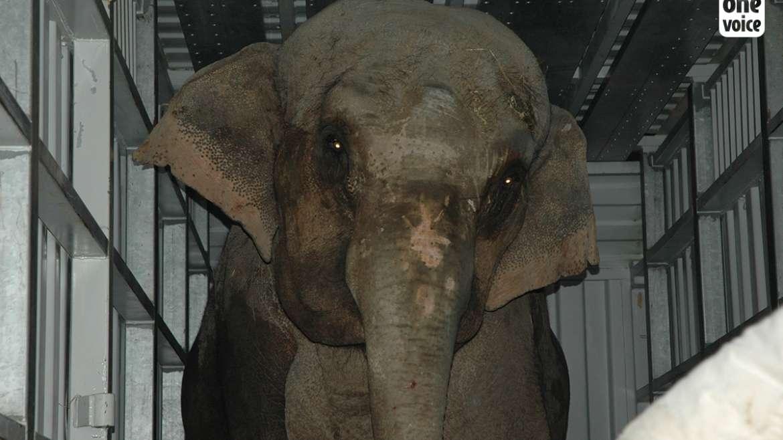 One Voice retrouve et fait saisir une éléphante du dresseur Gartner