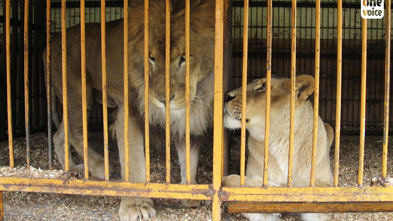 Trois lions sauvés du cirque