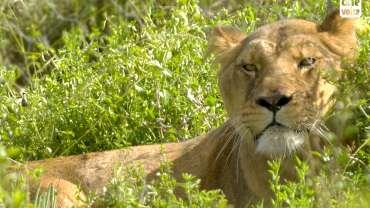 Trois lions enfin libres