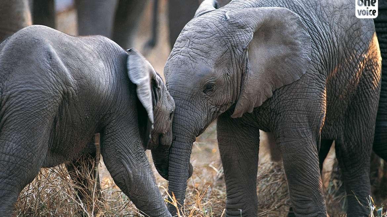 Des éléphants sur les pistes… oui mais dans la savane !