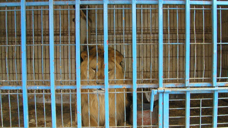 Le lion Brutus enfin libéré