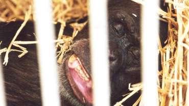 Les tristes grimaces des singes en cage